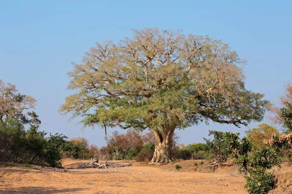 A large African fig tree.