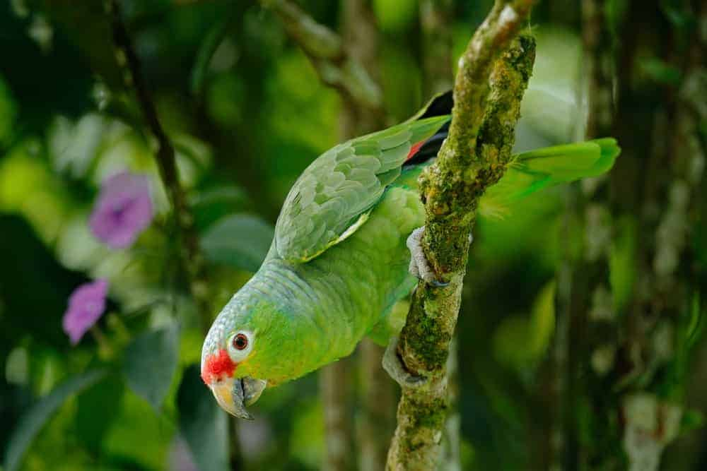 Green Amazon parrot with red head.