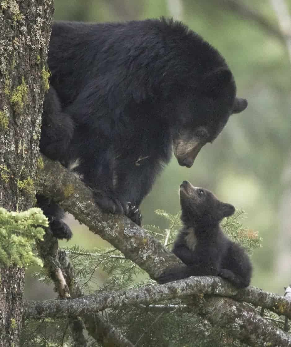 American female black bear with her baby.