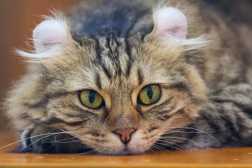 American Curl cat with curved ears
