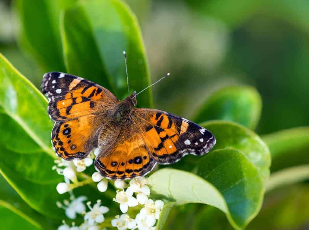 An orange American Painted Lady butterfly with white spots