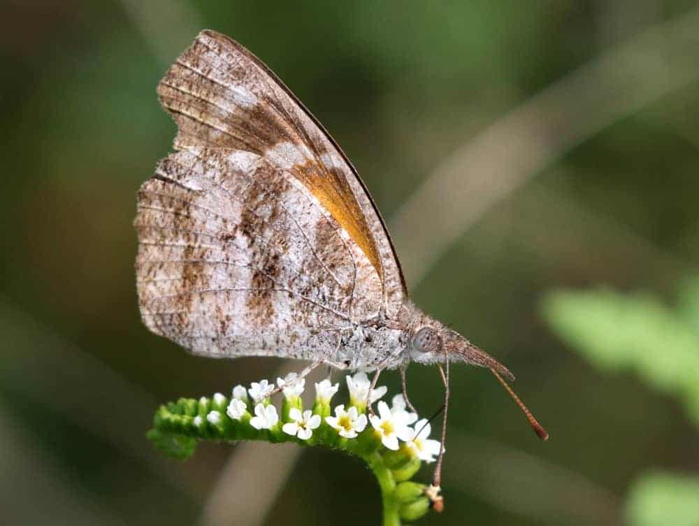 An American Snout butterfly with white flowers