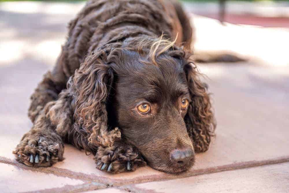 An American Water Spaniel resting on the ground.