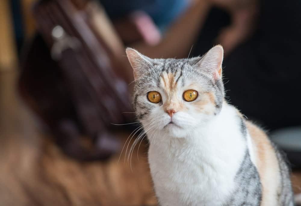 Cute American Wirehair cat