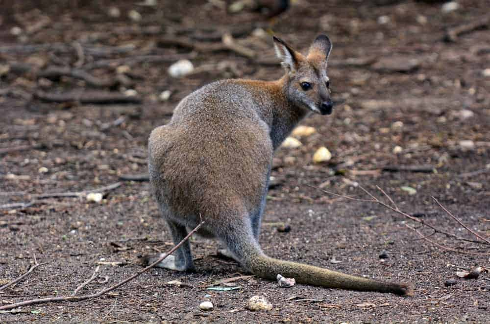Australian Antilopine kangaroo