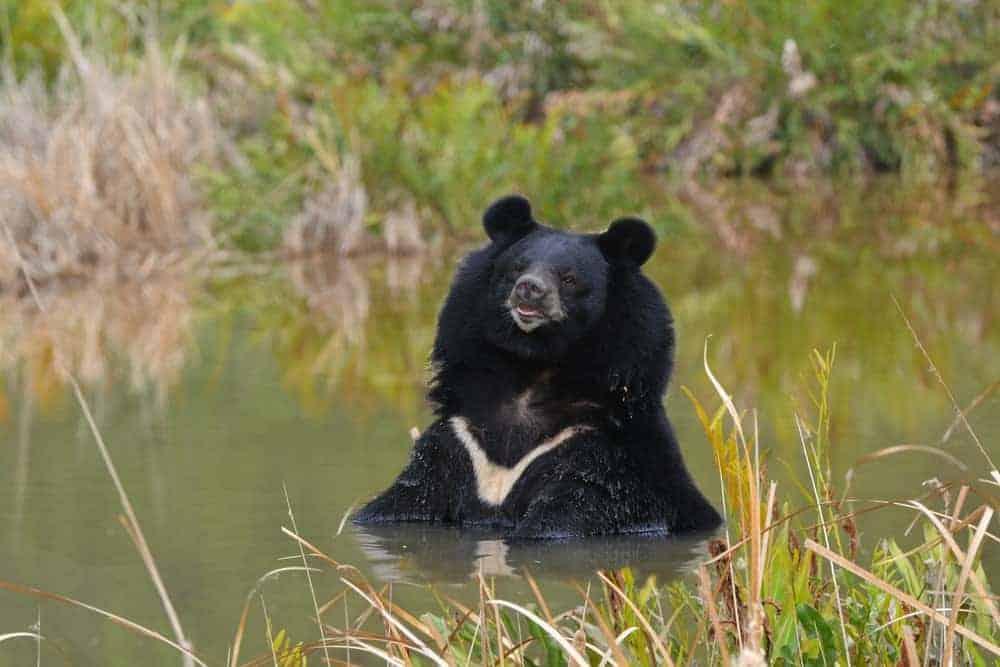 Asian black bear in wild.