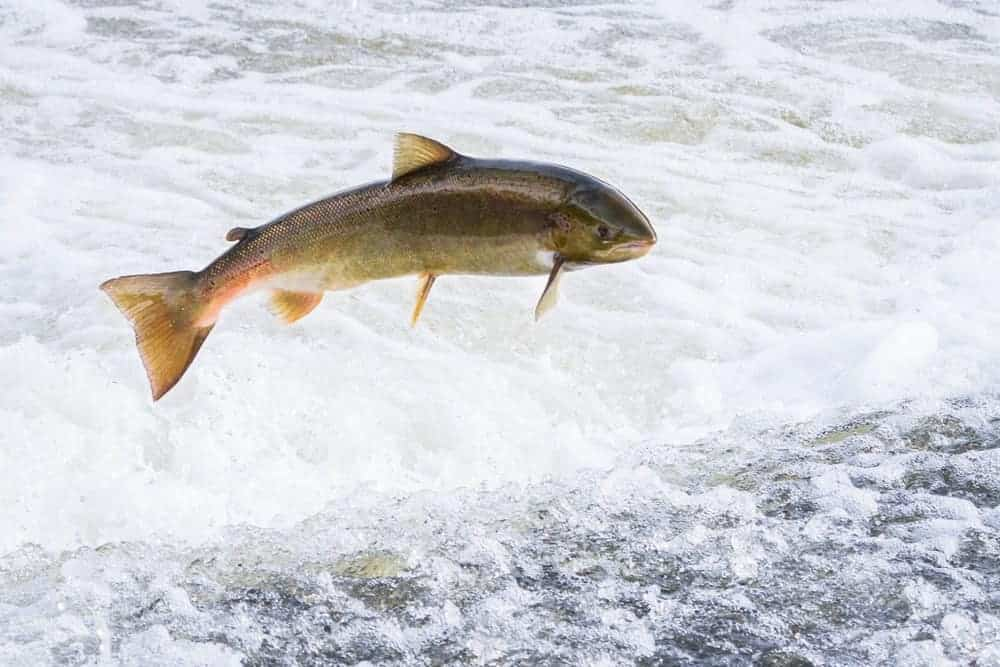 Atlantic salmon jumping out of the water.
