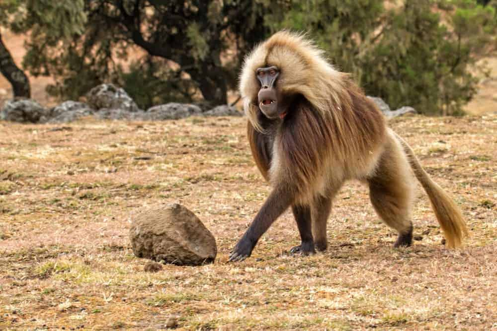 A walking male baboon.