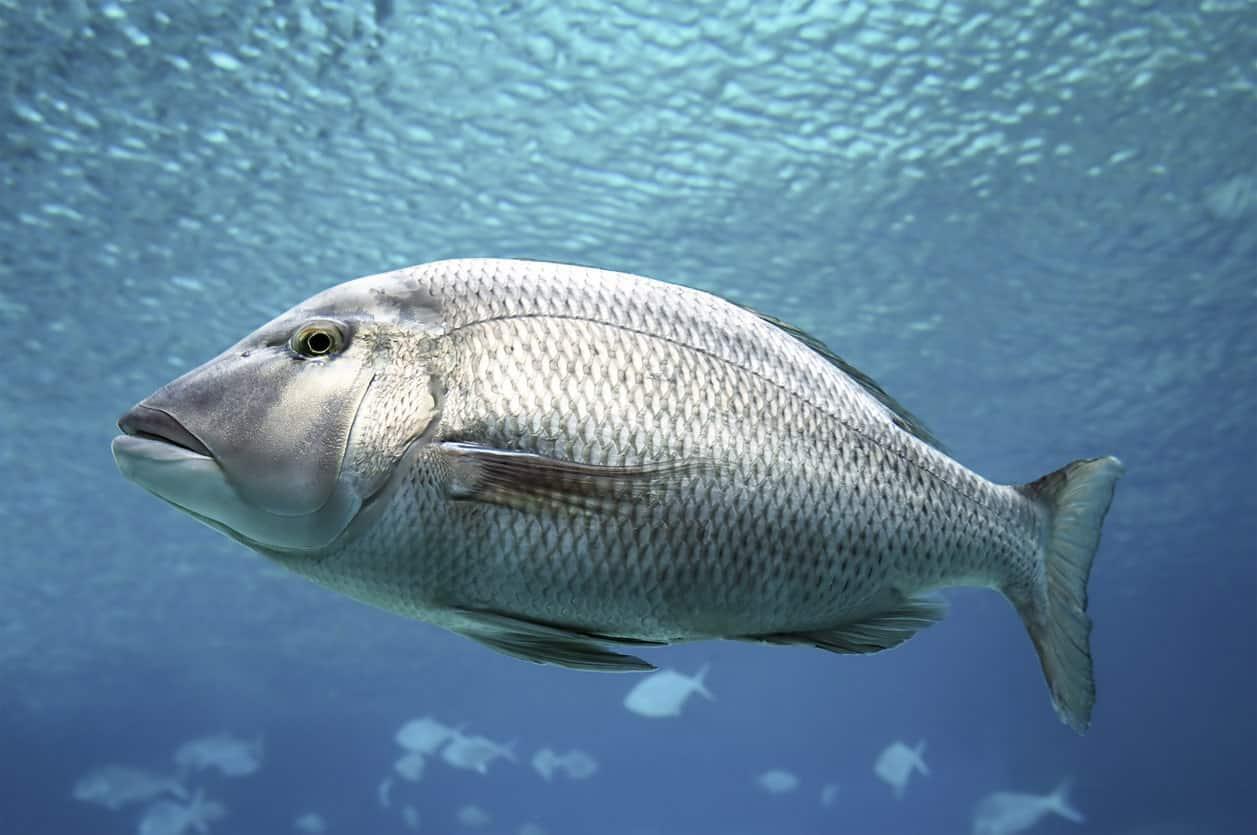 Big barramundi swimming in the ocean.