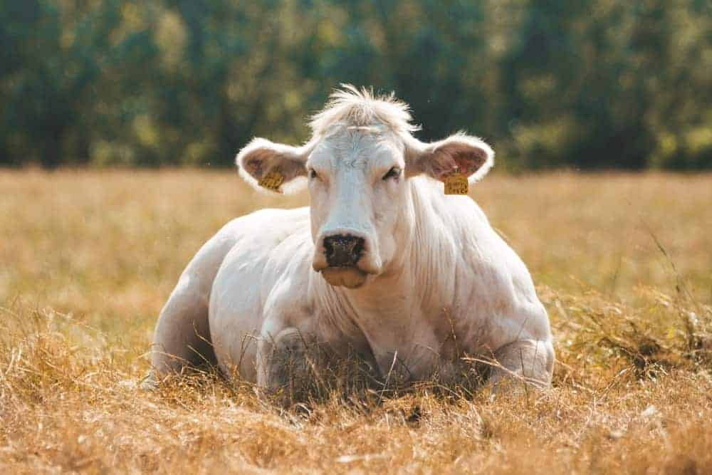 Belgian Blue cow lying on the grass.