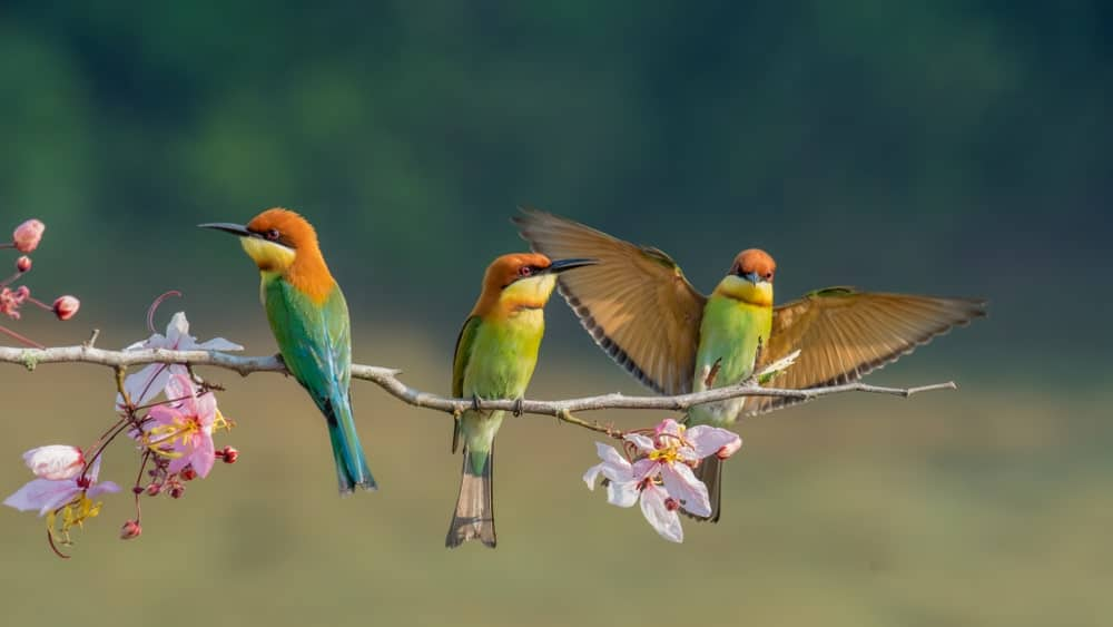 Three chestnut-headed bee-eaters sitting on a branch.