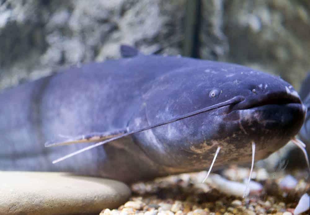 A blue catfish in an aquarium