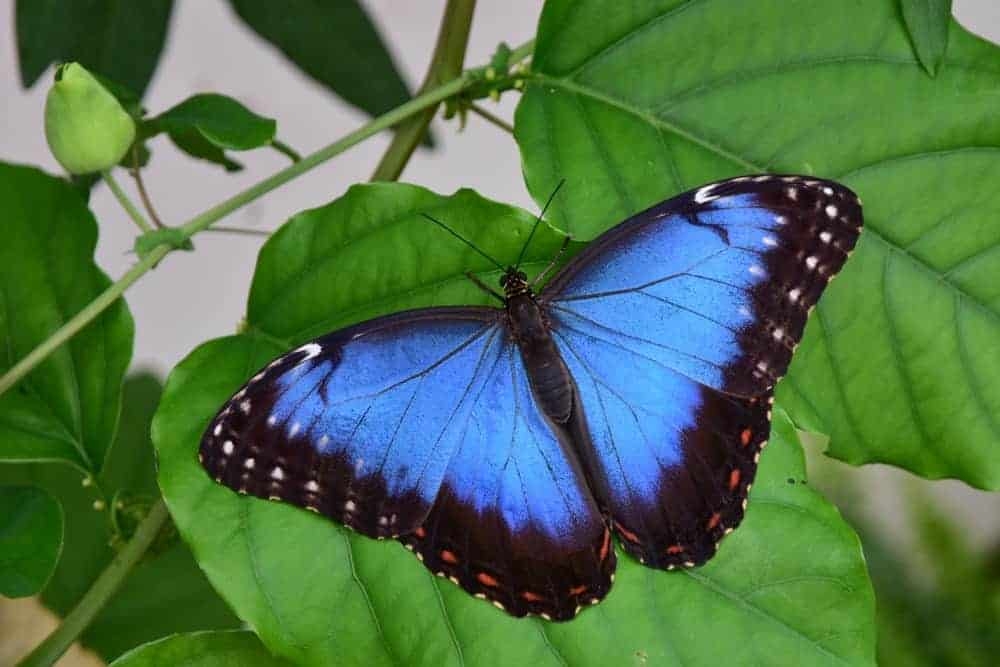 Stunning Blue Morpho butterfly on a green leaf
