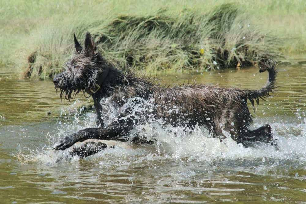 A Blue Picardy Spaniel playing in the water.