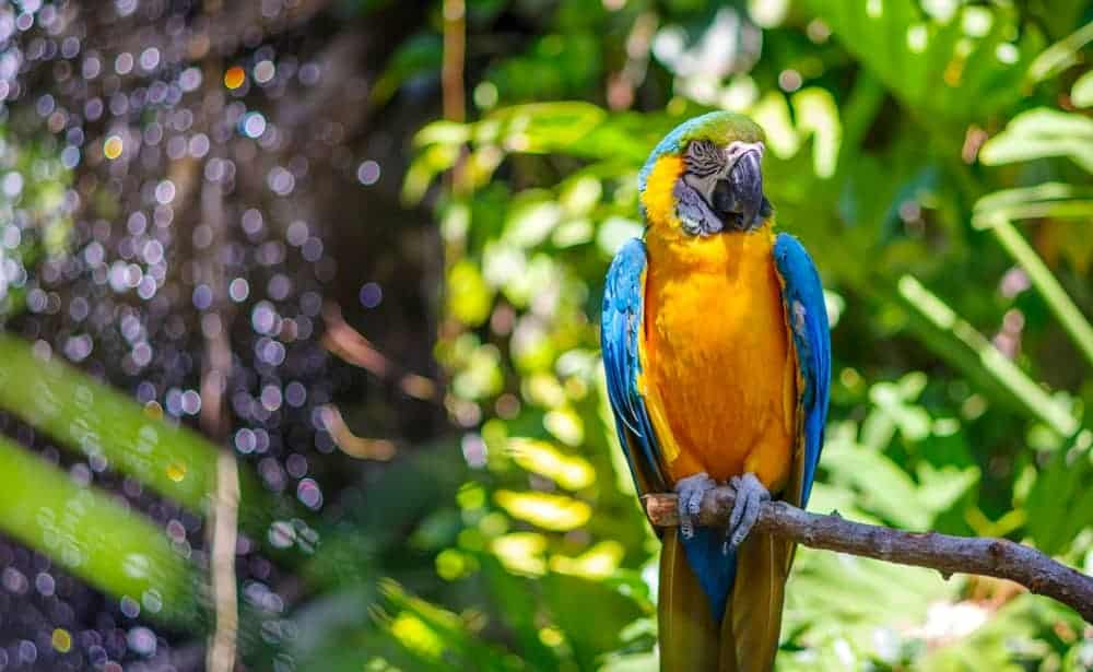 Blue Throated Macaw in a rainforest.