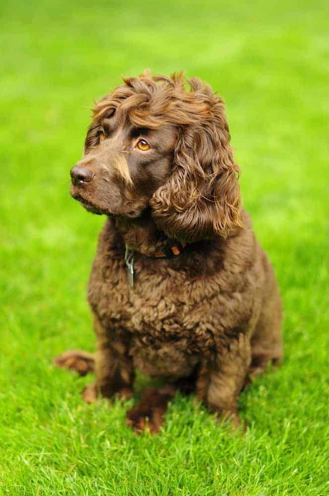 A brown colored Boykin Spaniel sitting on green grass