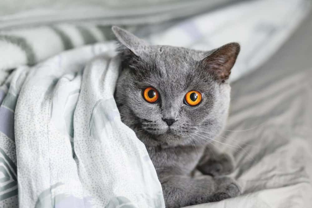 British Shorthair with copper colored eyes