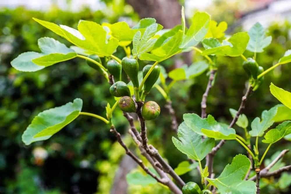 Brown Turkey fig tree