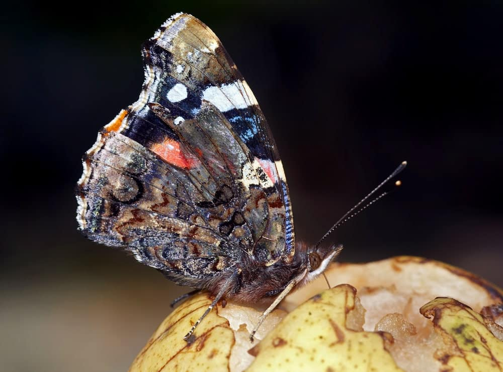 A Brush-Footed butterfly on a Fruit