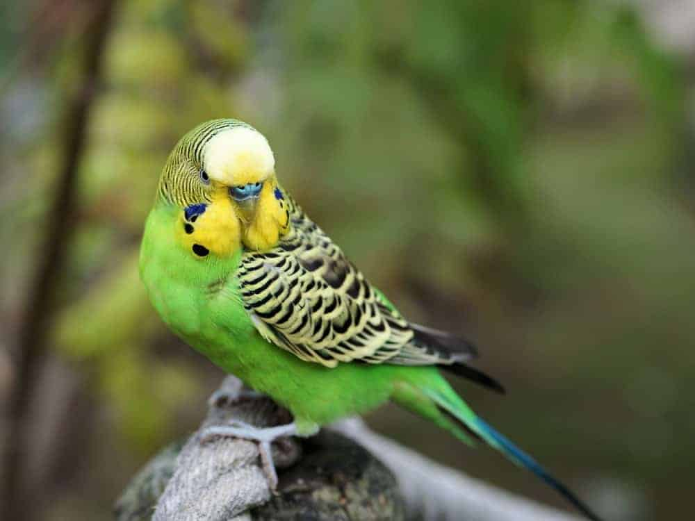 A green Budgerigar parrot with scalloped markings on wings and head.
