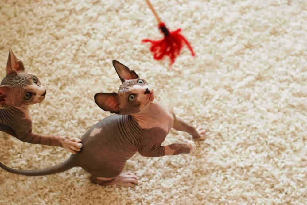 Two Canadian Sphinx kittens