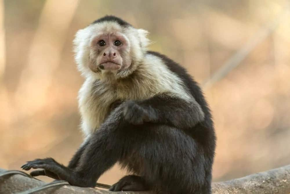 Capuchin monkey on a tree.
