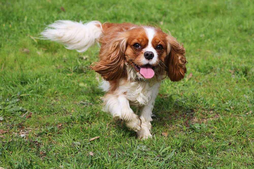 A Cavalier King Charles Spaniel running in the field.