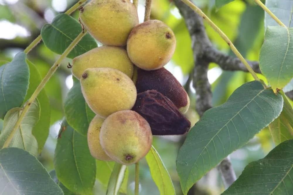 Fruits of a Celeste fig tree