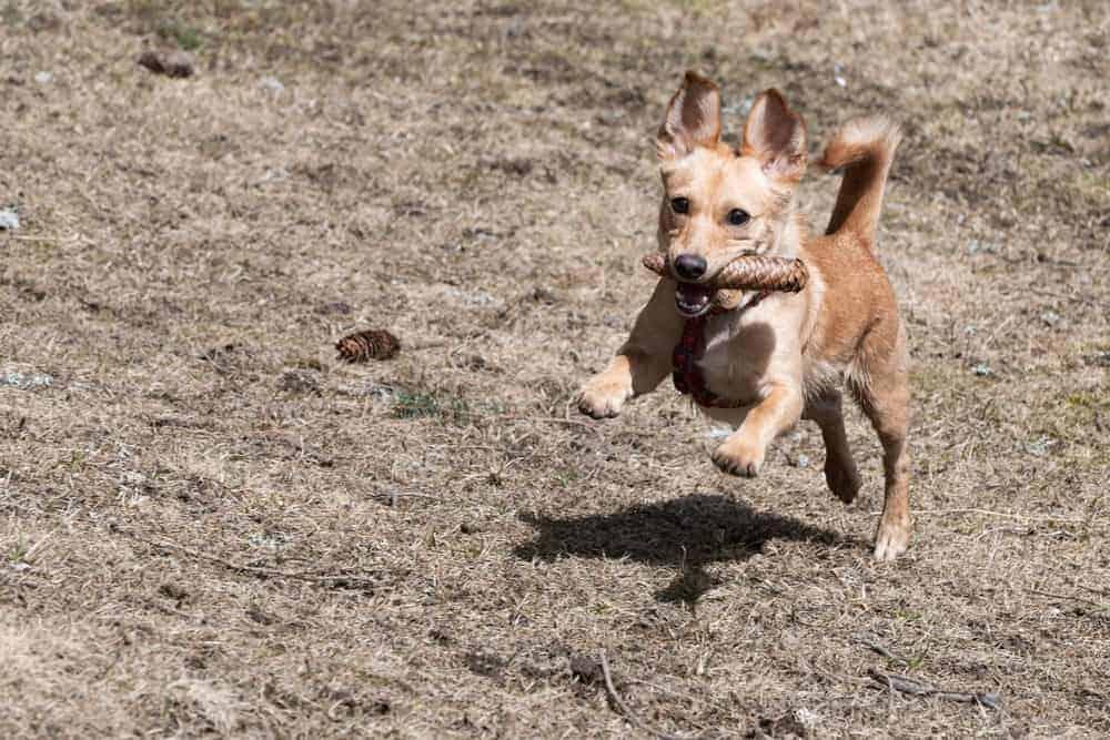 Chihuahua-Terrier