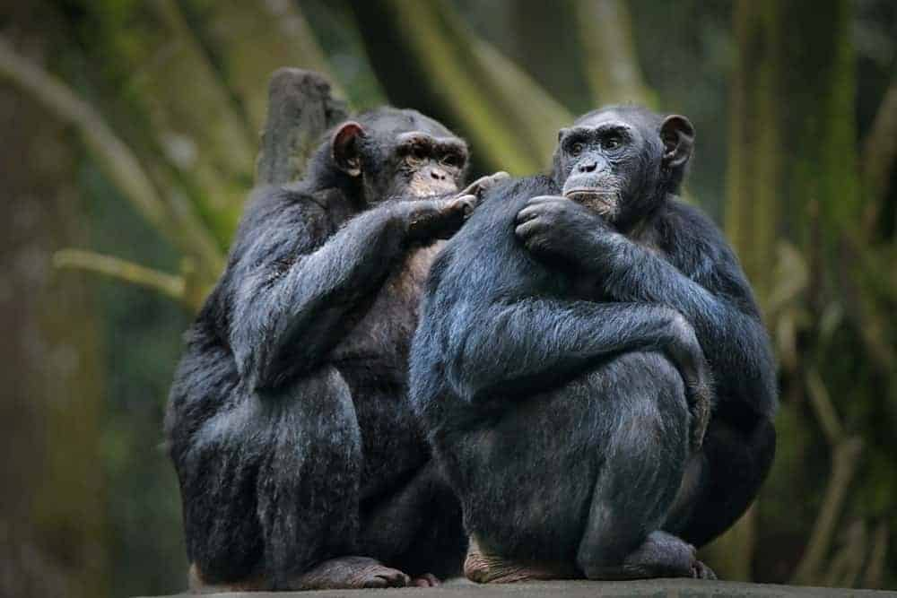 Chimpanzees scratching each other's back.