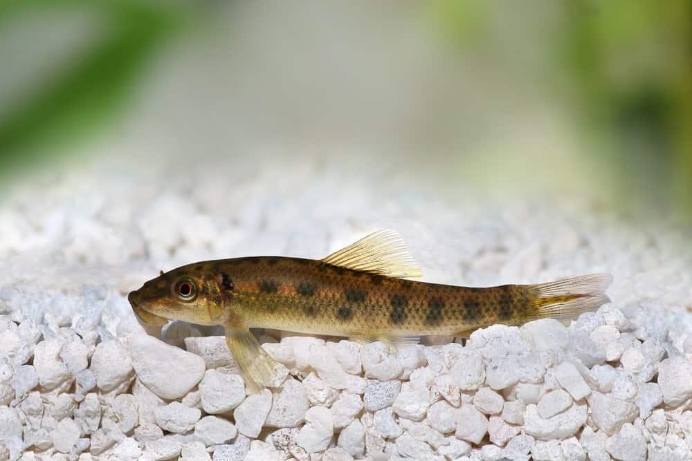Chinese Algae Eater Catfish