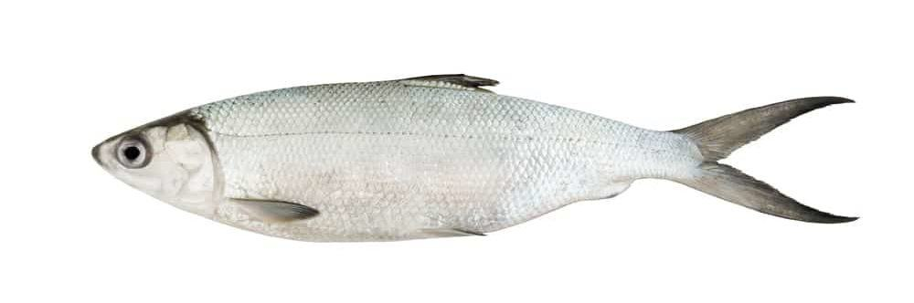 Cisco Fish
