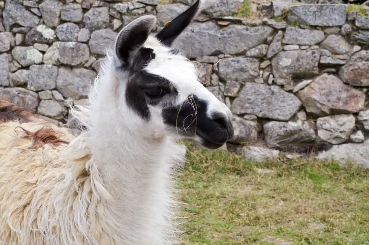 Half body shot of a classic llama.