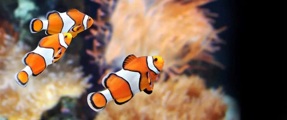 Clown fishes in a home tank.