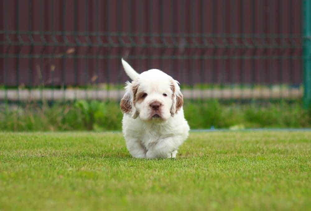A Clumber Spaniel sitting on the grass.