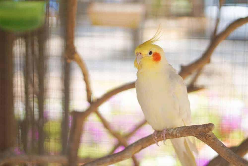 A Cockatiel sitting on a tree.