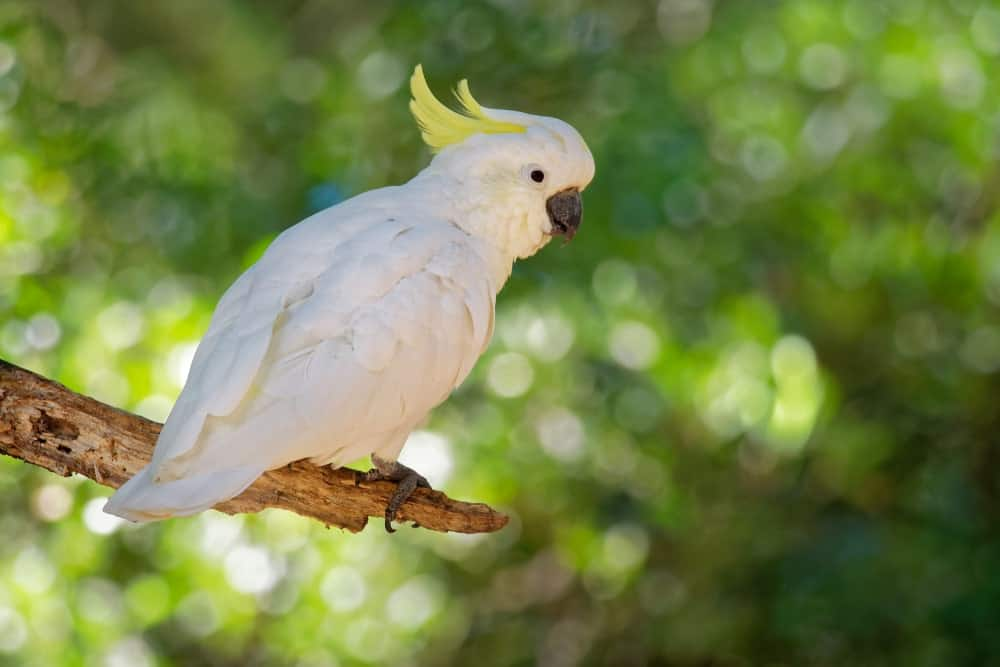 A white Cockatoo with yellow head crest.