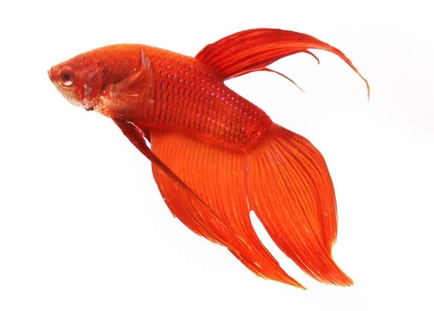 Comb tail betta fish