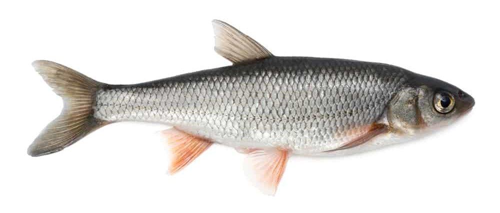 Common Dace fish