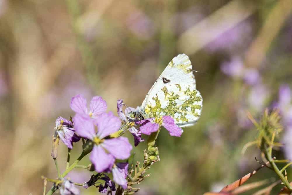 Creamy Marblewing butterfly feeding on a flower