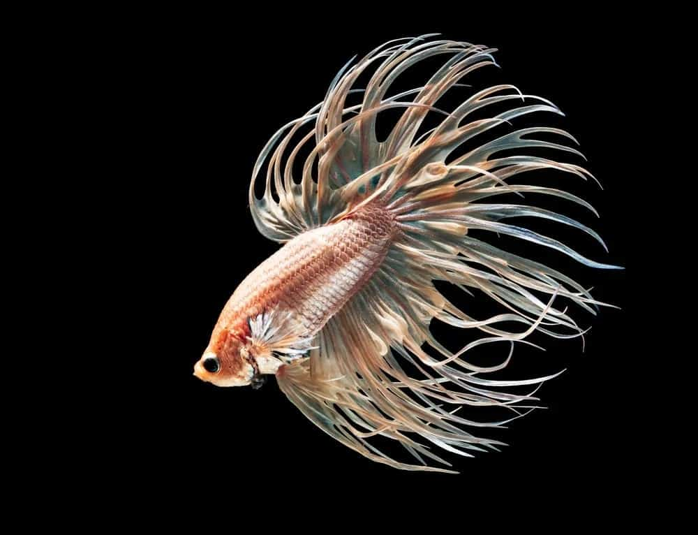 7 of the Most Colorful Betta Fish for Your Home Fish Tank ... - photo#23