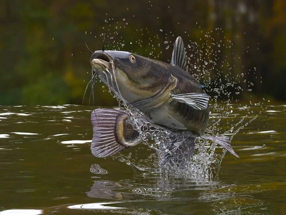Catfish on a water