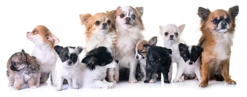 Chihuahuas of different variants
