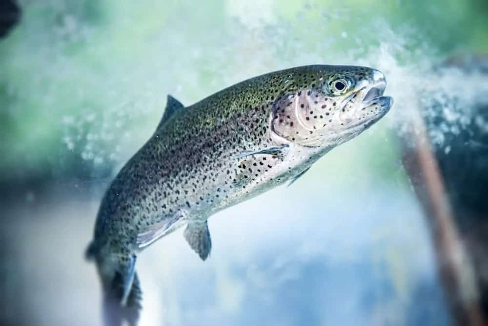 A swimming rainbow trout