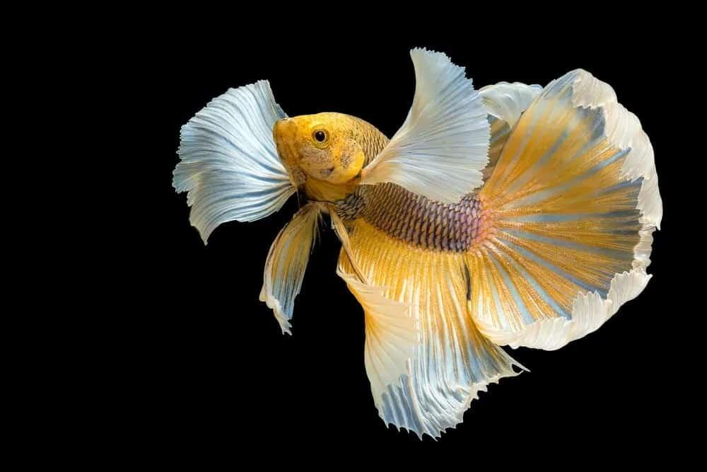 Dumbo ear betta fish