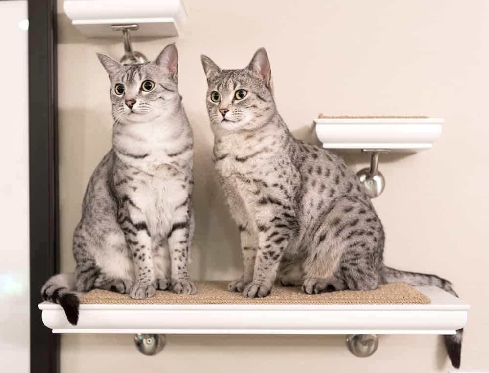 Two Egyptian Mau cats