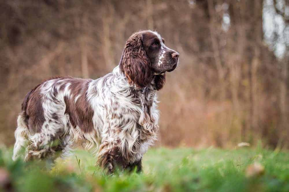 An English Springer Spaniel in the fields.
