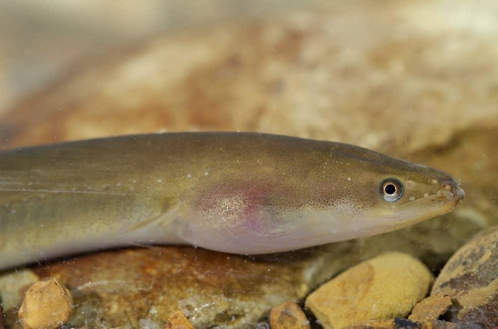 European eel camouflaging on the stones.