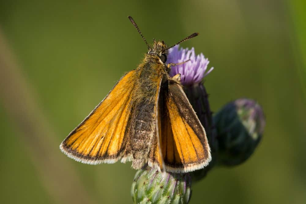 European Skipper butterfly feeding from a Thistle plant