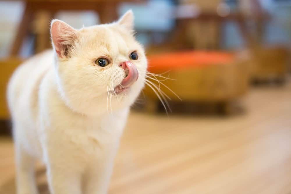 Exotic Shorthair cat with tongue sticking out